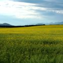 Canola Fields in the Flathead Valley